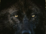 Black-Colored Gray Wolf, Canis Lupus, Stares with Golden Eyes