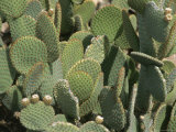 Prickly Pear Cactus at the Arizona Sonora Desert Museum