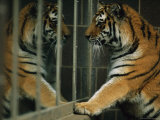Siberian Tiger Looks at Its Reflection in a Mirror
