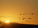 Migrating Snow Geese and Canada Geese at Twilight