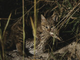 An African Wild Cat Kitten Holds a Bird in Its Jaws