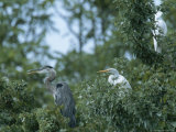 Great Blue Heron and Great White Egrets