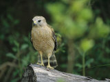 Red-Shouldered Hawk Perched on a Fallen Log