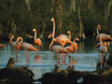 Caribbean Flamingos Stand in the Water at a Rookery
