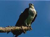 Osprey, Pandion Haliaetus, Perched on a Tree Branch