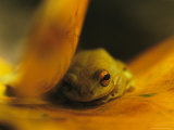 Frog Resting on a Yellowed Leaf