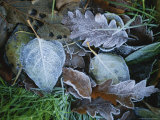 Early Morning Frost on Fallen Autumn Leaves