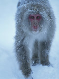 Portrait of a Snow-Dusted Japanese Macaque