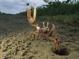 Fiddler-Type Crab with Claw Raised Standing Outside It's Burrow