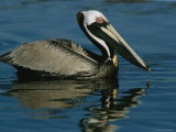 Brown Pelican Floating Calmly on the Water's Surface