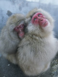 Pair of Japanese Macaques Huddled on the Edge of a Hot Spring