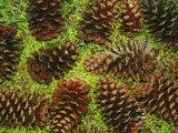 Giant Longleaf Pine Cones