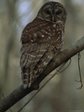 Portrait of a Barred Owl Perched on a Tree Branch