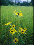 Black-Eyed Susan Flowers Blooming in a Yosemite Meadow