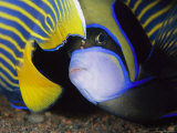 Head and Tail of a Pair of Emperor Angelfish