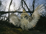 Ruffed Grouse Spreading His Wings in a Display