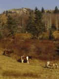 Wild Horses, Fir and Ash Trees on the Appalachian Trail