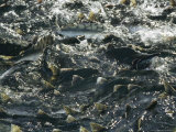 School of Pink Salmon Migrating To Spawning Grounds in Alaska
