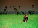 Boy on Buffalo in Rice Field