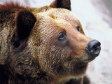 Close Up of Grizzly Bear Head