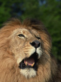Lion in Wild Showing Teeth