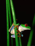 Red-Eyed Tree Frog Perched on Edge of Plant