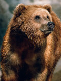 Large and Wet Brown Bear Standing in Nature
