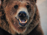 Close Up of Brown Bear Showing Teeth