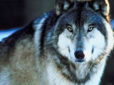 Timber Wolf in Nature