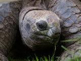 Aldabra Tortoise, Native to Aldabra Island, Near Seychelles