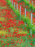 Colorful Red Poppies of Tuscany, Italy