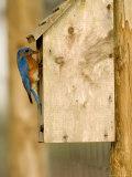 Male Eastern Bluebird on Bird Box, Florida, USA