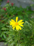 Yellow Daisy in Flower Garden, Florida, USA