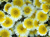 Tidy Tips in Bloom, Carrizo Plain, California, USA