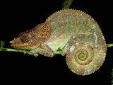 Chameleon in Sleeping Position, Montagne d'Ambre National Park, Madagascar