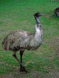 Emu Portrait, Australia