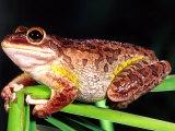 Cuban Tree Frog, Florida, USA