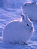 Arctic Hare, Ellesmere Island, Canada