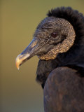 Black Vulture, Everglades National Park, Florida, USA