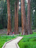 Big Trees Trail with Giant Sequoia Trees, Round Meadow, Sequoia National Park, California, USA