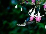 White-Necked Jacobin Hummingbird on Flower Nectar, Rancho Naturalista, Costa Rica