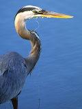 Doomed Great Blue Heron, Venice, Florida, USA