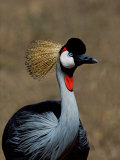 Grey Crowned Crane, Kenya