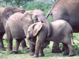 Young African Elephants Wrestling, Tanzania