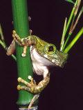 Big Eye Tree Frog, Native to Tanzania