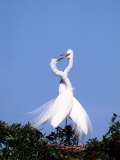 Great Egret in a Courtship Display, Florida, USA