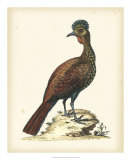 Regal Pheasants V