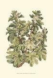 Fig Tree Branch