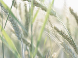Close-Up of Soft Wheat Growing in Field
