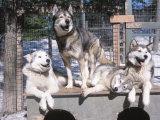 Husky Dogs Resting in Kennel in Winter